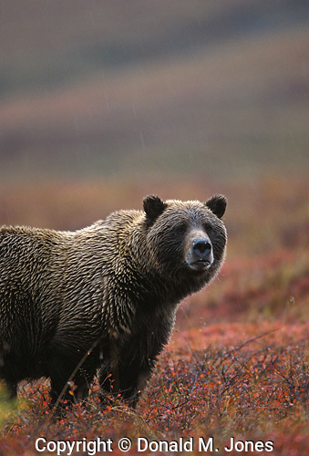 Grizzly (Ursus horribilis)
