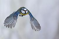Blaumeise, Flug, Flugbild, fliegend, mit Vogelfutter im Schnabel, Blau-Meise, Meise, Meisen, Cyanistes caeruleus, Parus caeruleus, blue tit, tit, tits, flight, flying, La Mésange bleue
