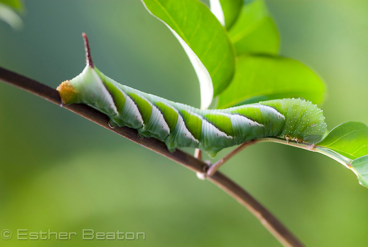 Australasian Privet Hawk Moth caterpillar (Psilogramma casuarinae often mistaken for Psilogramma menophron).Fam. SPHINGIDAE.8 cm long, summer (February) 8 cm long feeding on Wonga Wonga Vine, southeastern Australia