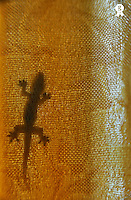 Small Lizard silhouette on orange curtain (Licence this image exclusively with Getty: http://www.gettyimages.com/detail/93187585 )