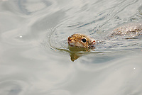 Aquatic squirrel was photographed swimming across a river