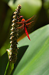 Dragonfly on Lotus, Flame Skimmer male, Libellula saturata, Southern California