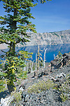 USA, OR, Crater Lake NP, Whitebark Pine Trees on Wizard Island