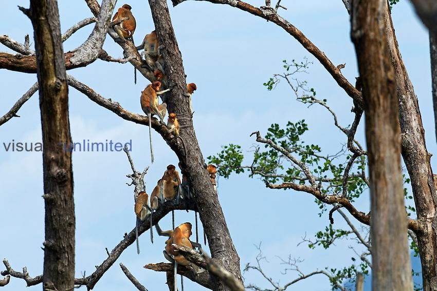 Proboscis Monkey group sitting in a tree (Nasalis larvatus), Bako National Park, Sarawak, Borneo, Malaysia.