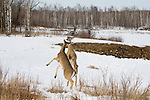 White-tailed deer on hind legs sparring