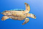 Eretmochelys imbricata, Hawksbill, Hawksbill sea turtle, Hawksbill turtle, Cozumel, Mexico