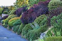 Front yard hillside shrub border by street with Cotinus coggygria 'Royal Purple' with Heathers, Nandina, Dwarf Pine, Barberry, etc, Seattle Washington, Stacie Crooks design