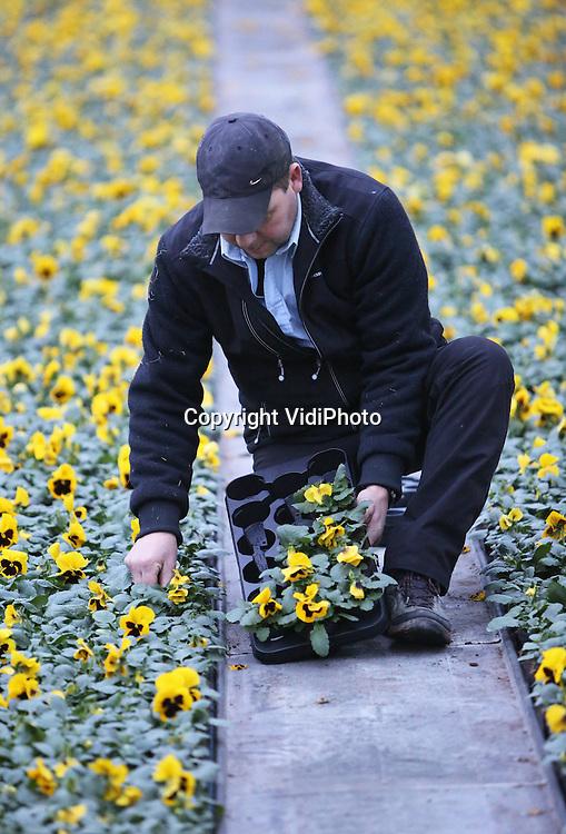 Foto: VidiPhoto<br /> <br /> HUISSEN - Henk Wagener van kwekerij 't Kleintje in Huissen raapt maandag de eerste voorjaarsviolen voor de Nederlandse tuincentra. Vreemd genoeg zit de Betuwse kweker niet op het voorjaar, maar juist op een stevige winter te wachten. &quot;Na een flinke vorstperiode is de vraag in de lente naar violen veel groter dan na een kwakkelwinter.&quot; De piek van de oogst is begin maart, afhankelijk van het weer. Jaarrond kweekt 't Kleintje violen en &eacute;&eacute;njarig perkgoed, in totaal zo'n 8 miljoen stuks. De altijd populaire violen gaan voor het grootste deel de grens over, richting Duitsland. &quot;Lentekriebels en zon zijn onze grootste koopman,&quot; aldus de Huissense kweker
