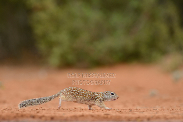 Mexican Ground Squirrel (Spermophilus mexicanus), adult running, South Texas, USA