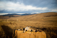 A dead coyote lays atop a rock in farm fields south of Ulm, Montana, USA.
