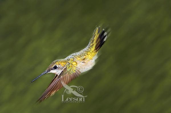 Ruby-throated Hummingbird (Archilochus colubris) female in flight in backyard garden, summer, Nova Scotia, Canada.
