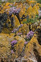 Royaume-Uni, îles Anglo-Normandes, île de Sark (Sercq) :  Flore de la Côte Rocheuse // United Kingdom, Channel Islands, Sark Island (Sercq) :
