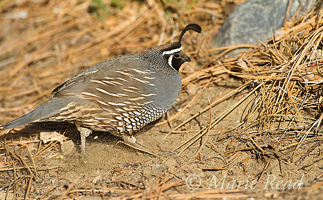 California Quail (Callipepla californica) male scratching in dirt to expose food, Mono Lake Basin, California, USA