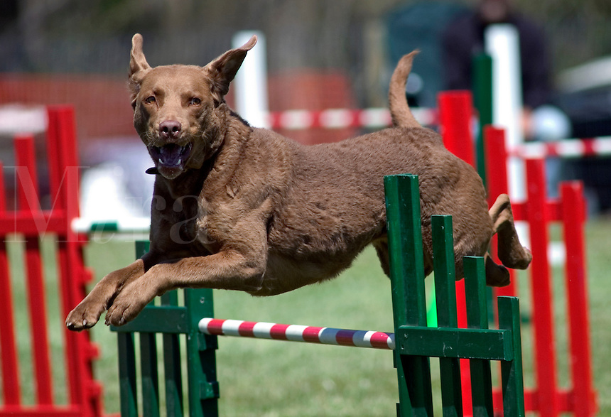 Chesapeake Bay Retriever jumping during an agility competition in Charlotte, NC.