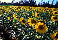 Sunflowers along road in Kauai