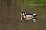 Wood Duck breeding plumage