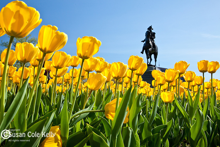 The George Washington statue by Thomas Ball and the tulip garden in the BostonPublic Garden, Boston, MA, USA