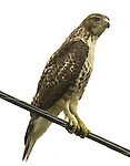 Hawk on wire.