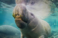 Florida manatee, Trichechus manatus latirostris, eating, breathing, Crystal River, Florida, USA