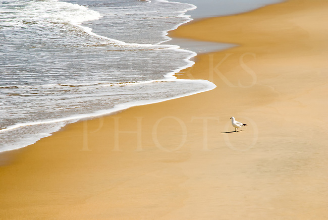 Single seagull standing alone with incoming surf foam, Nags Head, North Carolina.