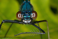 Gebänderte Prachtlibelle, Pracht-Libelle, Männchen, Portrait mit Komplexaugen, Facettenaugen, Calopteryx splendens, Agrion splendens, banded blackwings, banded agrion
