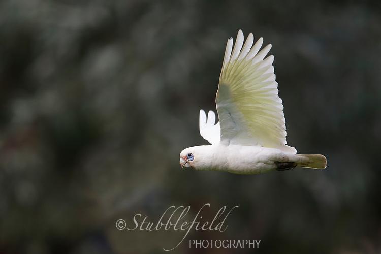Little Corella (Cacatua sanguinea gymnopis), in flight in Rymill Park in Adelaide, South Australia.