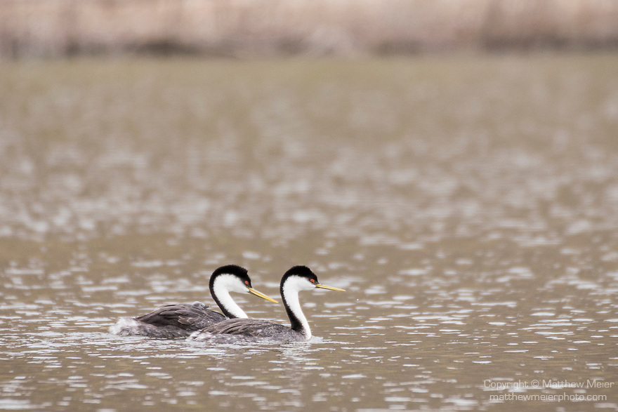Lake Hodges, Escondido, San Diego, California; a mating pair of Western Grebes (Aechmophorus occidentalis), with a chick tucked under the feathers on the mother's back, swimming across the surface of the lake