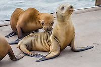 Young California sea lions (Zalophus californianus) pups on boat dock.  Central California Coast.