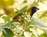 Crimson-collared grosbeak female in potato tree. The fruit of this tree seems to be the bird's favorite food. This rare visitor from Mexico was seen and photographed on January 14, 2009. A few years ago a male of the species was seen in the same location, the Frontera Audubon Preserve in Weslaco, Texas.