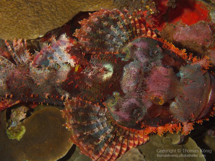 Dragon Gate Rock Reef (Long Men Yan Jiao), Green Island -- Colorful red scorpionfish waiting for prey.