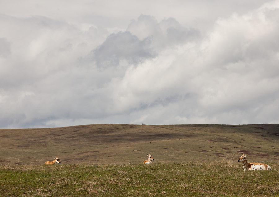 Three pronghorn antelope sit in the hot spring sun on the National Bison Range in Montana.