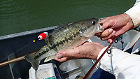 NWA Democrat-Gazette/FLIP PUTTHOFF <br />This spotted bass bit a minnow       May 5 2018  at Beaver Lake. Minnows are excellent to catch all kinds of fish including bass, crappie, walleye, and catfish.