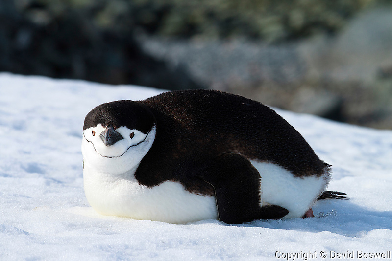 A Chinstrap penguin basking in the sun on Half Moon Island, Antarctica.