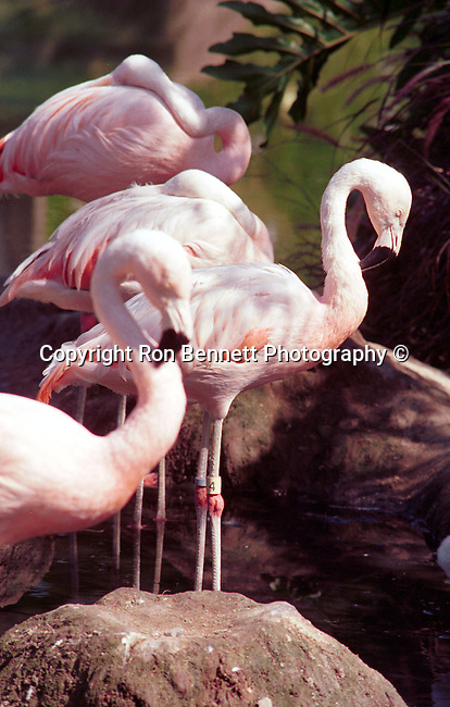 Flamingos or flamingoes are gregarious wading birds, Phoenicopterus and family Phoenicopteridae, Flamingos often stand on one leg others tucked beneath the body, Young flamingos hatch with grey plumage, flamingos range from light pint to bright red due to aqueous bacteria and beta carotene obtained form the food supply, An American Flamingo, California, West Coast of US, Golden State, 31st State, California, CA, Calif, Calf,Calaforna, Calafornia, Cali, Fine Art Photography by Ron Bennett, Fine Art, Fine Art photography, Art Photography, Copyright RonBennettPhotography.com ©