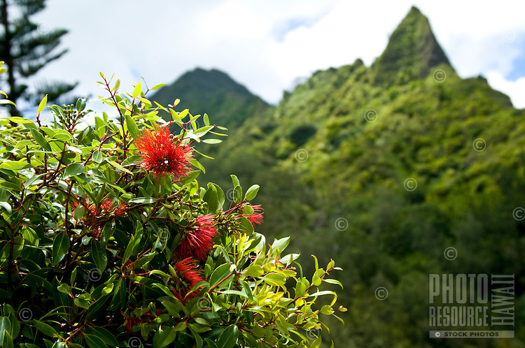 Lehua 'ahihi near the Pali Lookout on O'ahu.