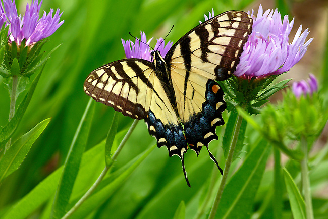 A Eastern Tiger Swallowtail in full-wing spread, sipping from a lavendar flower in a North Carolna botanical garden.