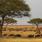 Wildbeest migration. Musabi Plains