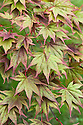 Early autumn foliage of Japanese maple (Acer palmatum), mid September.