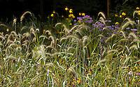 Canada Rye grass (Elymus canadensis) nodding flower stalk seed heads in Crow-Hassan Park, prairie reserve