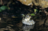 Blackpoll Warbler, Dendroica striata, female bathing, South Padre Island, Texas, USA, May 2005