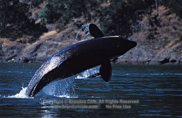 ns17. Orca (Orcinus orca) breaching. British Columbia, Canada, Pacific Ocean. .Photo Copyright © Brandon Cole. All rights reserved worldwide.  www.brandoncole.com..This photo is NOT free. It is NOT in the public domain. This photo is a Copyrighted Work, registered with the US Copyright Office. .Rights to reproduction of photograph granted only upon payment in full of agreed upon licensing fee. Any use of this photo prior to such payment is an infringement of copyright and punishable by fines up to  $150,000 USD...Brandon Cole.MARINE PHOTOGRAPHY.http://www.brandoncole.com.email: brandoncole@msn.com.4917 N. Boeing Rd..Spokane Valley, WA  99206  USA.tel: 509-535-3489
