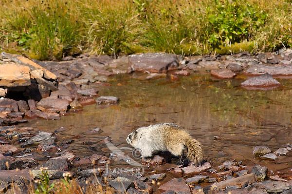 Hoary Marmot (Marmota caligata) walking around edge of alpine tarn.  Rocky Mountains.  Fall.
