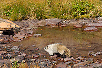 Hoary Marmot (Marmota caligata) walking around edge of alpine tarn.  Rocky Mountains.  Fall.