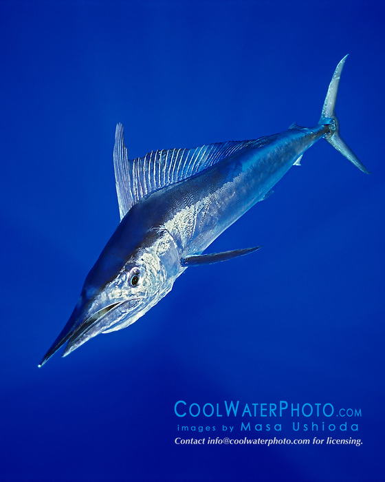 short-billed spearfish, Tetrapterus angustirostris, Kona Coast, Big Island, Hawaii, USA, Pacific Ocean