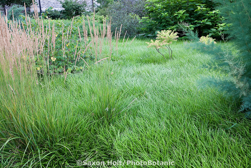 Lilyturf Liriope spicata lawn substitute groundcover meadow at Scott Arboretum