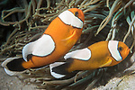 Puerto Galera, Oriental Mindoro, Philippines; a pair of saddleback anemonefish living in a corkscrew tentacle anemone on the sandy bottom
