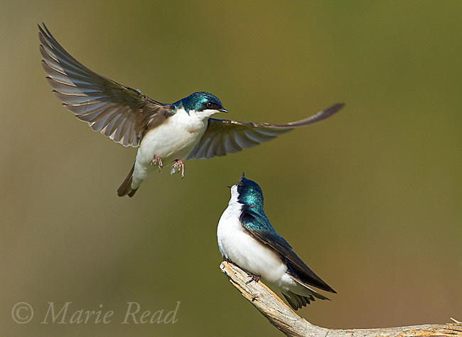 Tree Swallows (Tachycineta bicolor), pair interacting near their nest site, one calling as the other prepares to land, New York, USA.