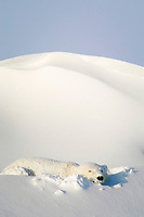polar bear, Ursus maritimus, sleeping in snowbank after blizzard, Dymond Lake Lodge, near Hudson Bay, Churchill, Manitoba, northern Canada, polar bear, Ursus maritimus