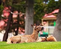 Elk calves resting on the lawn at Mammoth Hot Springs, Yellowstone National Park.