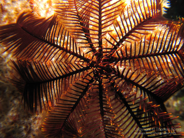 Kenting, Taiwan -- Crinoid (sea feather) on a coral